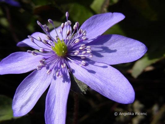 Hepatica transsylvanica - Siebenbürgisches Leberblümchen