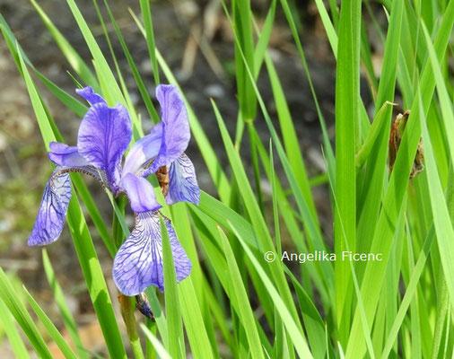 Iris sanguinea x I. sibirica  © Mag. Angelika Ficenc