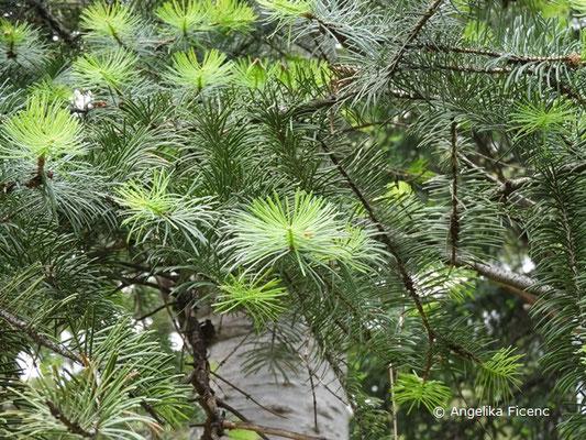 Abies concolor - Colorado Tanne, Z  © Mag. Angelika Ficenc