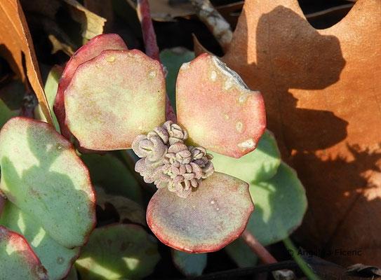 Hylotelephium sieboldii - Oktober-Fettblatt,     © Mag. Angelika Ficenc