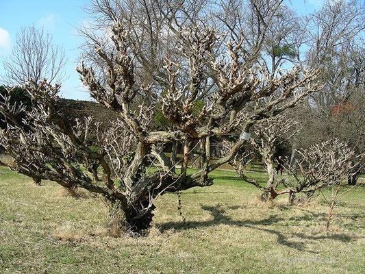 Campsis radicans - Amerikanische Trompetenwinde, Habitus im Winter