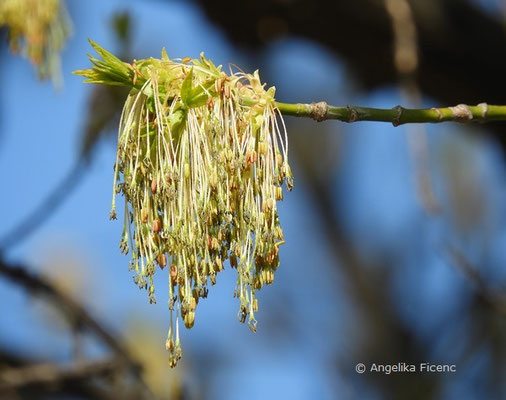 Acer negundo ssp. negundo - Eschen Ahorn, Blüten      © Mag. Angelika Ficenc