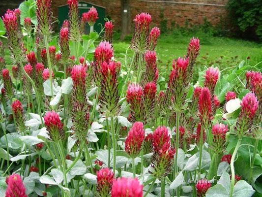 Trifolium rubens - Fuchsklee   © Mag. Angelika Ficenc