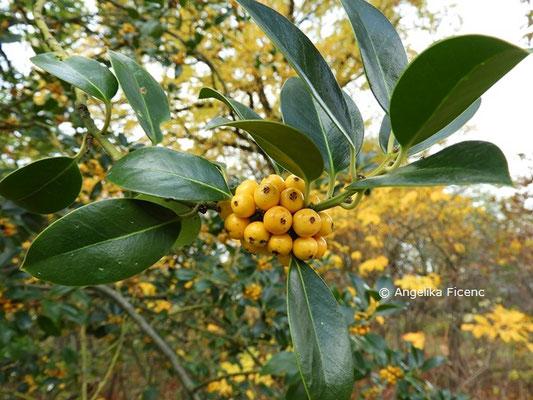 Ilex aquifolium   © Mag. Angelika Ficenc