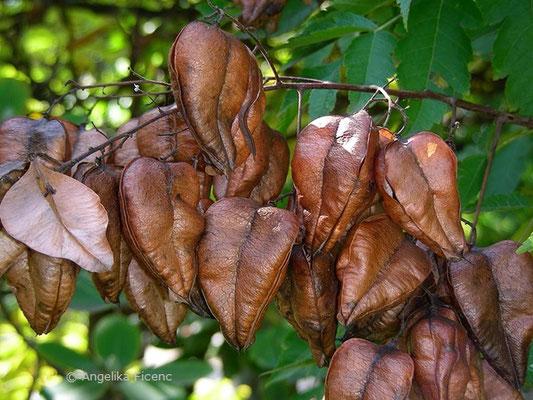 Koeleuteria paniculata - Rispiger Blasenbaum  © Mag. Angelika Ficenc