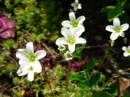 Saxifraga sponhemiva - Rheinischer Steinbrech  © Mag. Angelika Ficenc