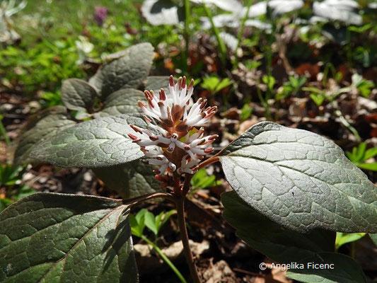 Pachysandra procumbens - Amerikanischer Ysander  © Mag. Angelika Ficenc