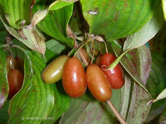 Cornus officinalis, reifende Früchte