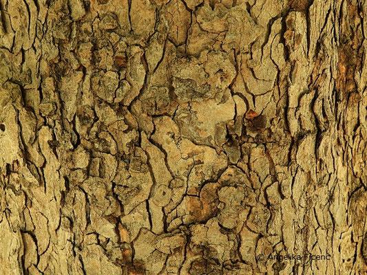 Acer hyrcanum - Balkan Ahorn, Stamm, Borke