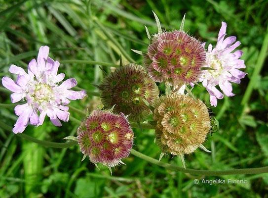 Lomelosia graminifolia - Südalpen Grasskabiose  © Mag. Angelika Ficenc