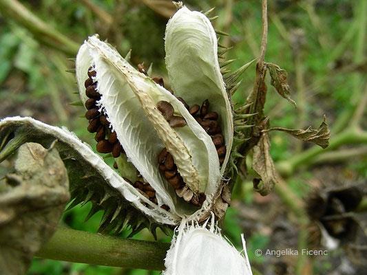 Datura stramonium - Stechapfel, aufgesprungene Kapsel mit Samen