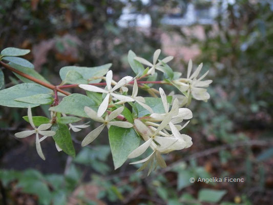 Abelia x Grandiflora (Abelia chinensis x A. uniflora)