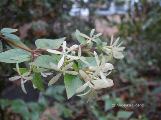 Abelia x Grandiflora (Abelia chinensis x A. uniflora)  © Mag. Angelika Ficenc