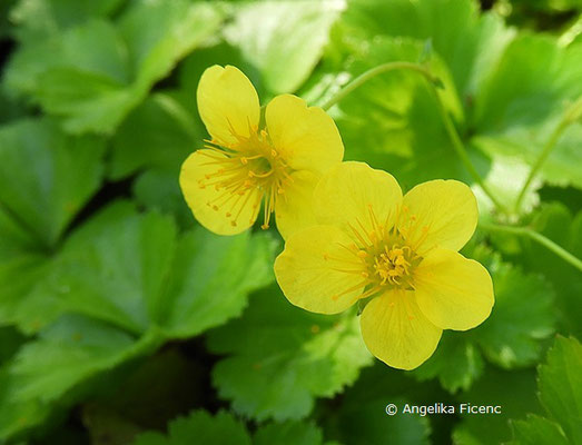 Waldsteinia ternata - Dreiblatt Waldsteinie