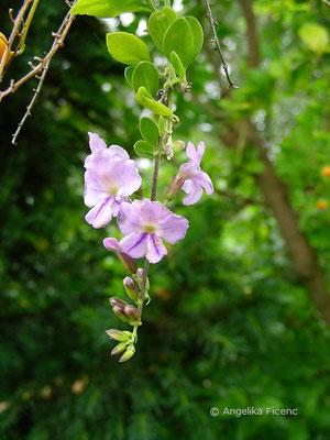 Duranta repens - Traubenbeere, Himmelsblüte
