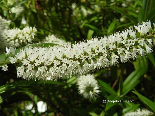 Veronica salicifolia  © Mag. Angelika Ficenc