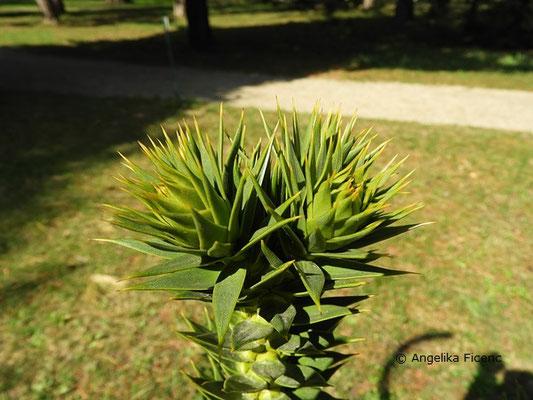 Araucaria araucana - Chilenische Araukarie  © Mag. Angelika Ficenc