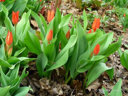 Tulipa praestans  © Mag. Angelika Ficenc