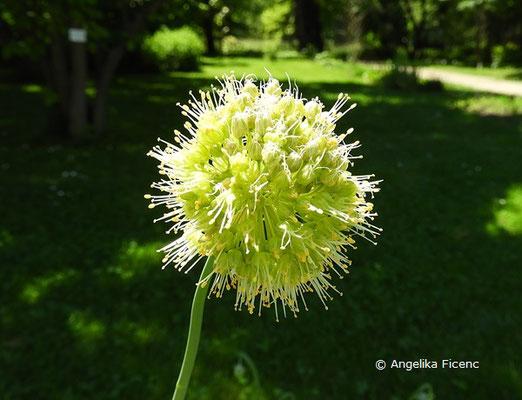 Allium obliquum - Schiefer Lauch     © Mag. Angelika Ficenc