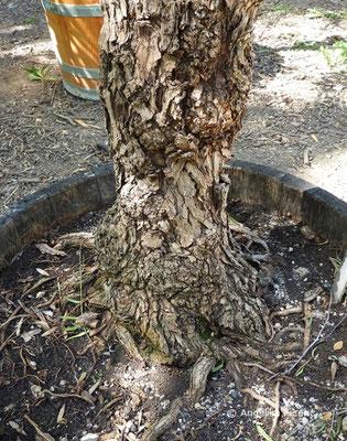 Schinus molle - Gewöhnlicher Pfefferbaum, Stamm