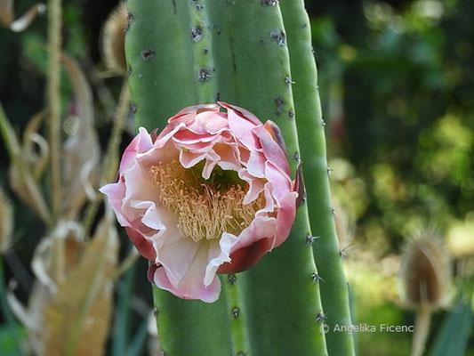 Cereus repandus - Blüte  © Mag. Angelika Ficenc