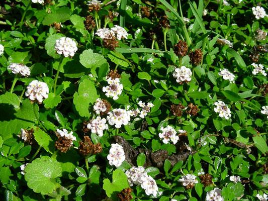 Phyla nodiflora  - Teppichverbene