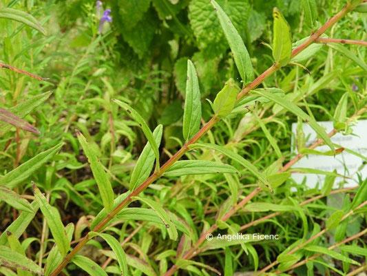 Scutellaria baicalensis  © Mag. Angelika Ficenc