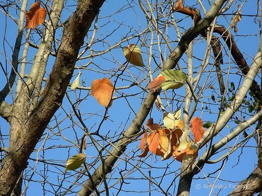 Taschentuchbaum - Davidia involucrata, Laublätter in Herbtsfärbung