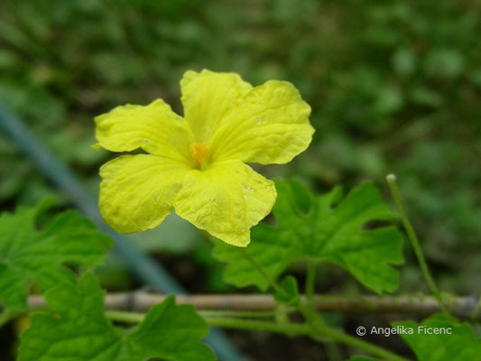 Momordica balsamina - Balsamapfel, Blüte
