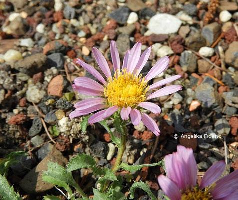 Machaeranthera coloradensis, Blüte  © Mag. Angelika Ficenc