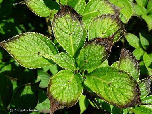 Helwingia japonica - Japanische Helwingie, Laubblätter