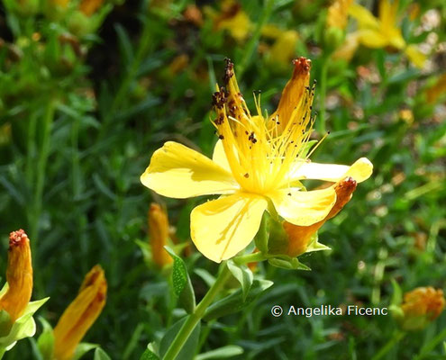 Hypericum linarioides  © Mag. Angelika Ficenc