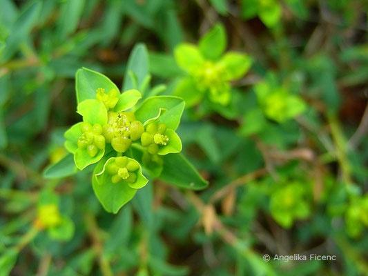 Euphorbia spinosa- Dornige Wolfsmilch, Blütenstand