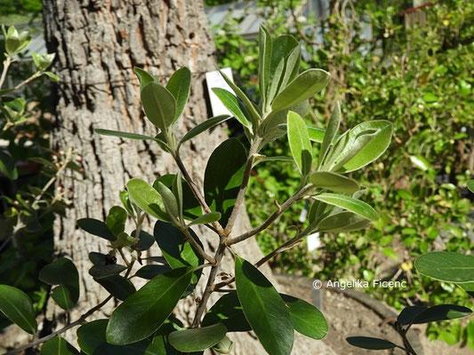 Pittosporum huttonianum, Laubblätter