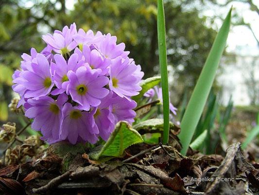 Primula denticulata - Kugel-Primel, Blütenstand