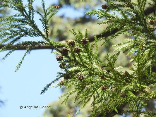 Cryptomeria japonica var. japonica - Japanische Sicheltanne, Zweige mit vorjährigen Zapfen