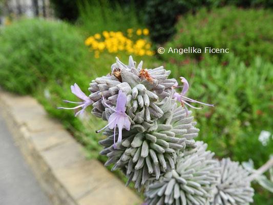 Salvia leucophylla © Mag. Angelika Ficenc