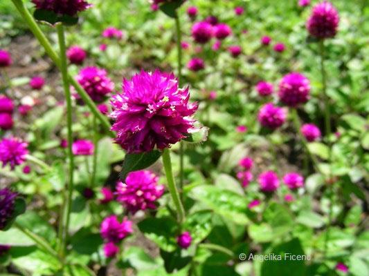 Gomphrena globosa L.  - Echter Kugel Amaranth    © Mag. Angelika Ficenc