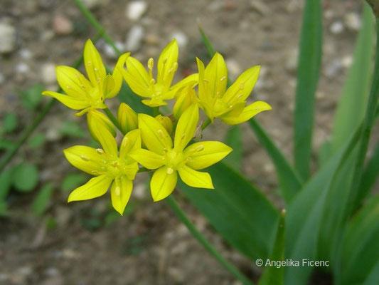 Allium moly, Goldlauch    © Mag. Angelika Ficenc