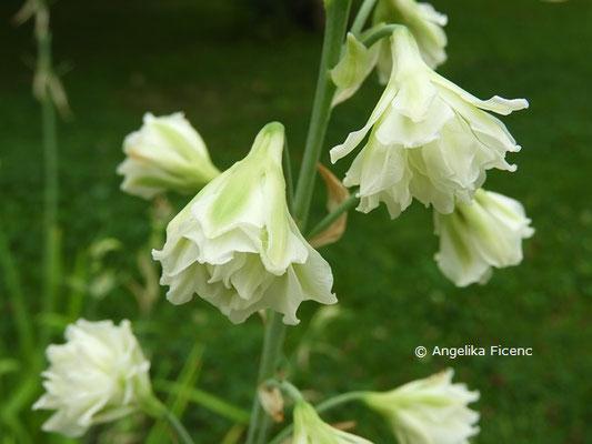 Galtonia candicans  © Mag. Angelika Ficenc