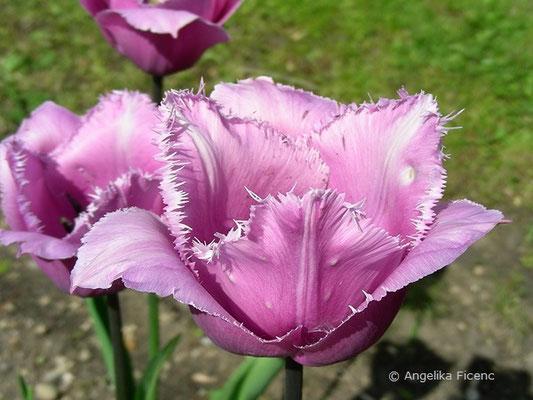 Tulipa Blue Heron