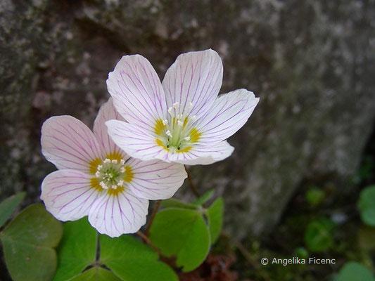 Oxalis acetosella - Wald Sauerklee, Blüten  © Mag. Angelika Ficenc