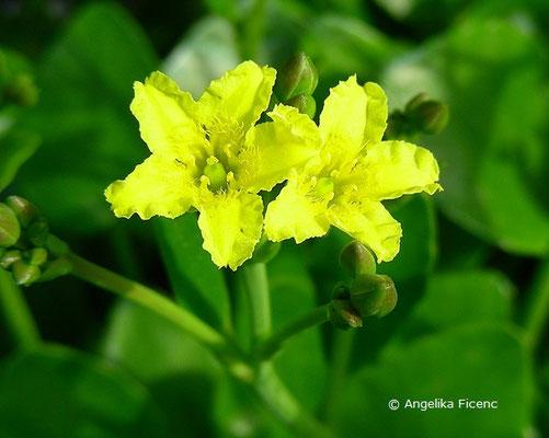 Villarsia exaltata - Villarsie
