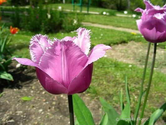 Tulipa Blue Heron  © Mag. Angelika Ficenc