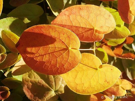 Epimedium alpinum - Europäische Sockenblume