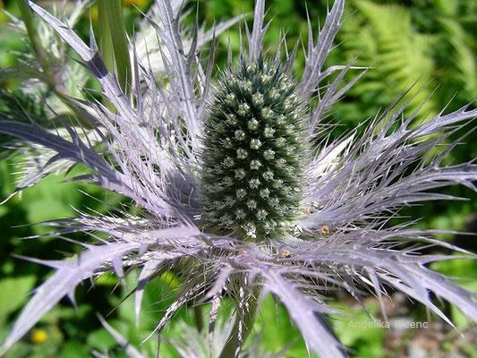 Eryngium alpinum - Alpen-Mannstreu
