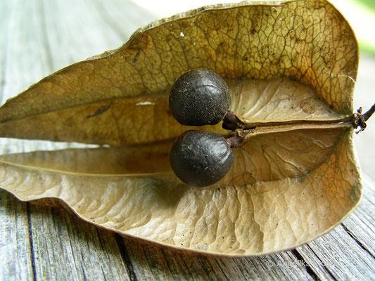 Koeleuteria paniculata - Rispiger Blasenbaum, Samen