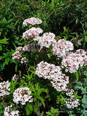 Kalmia latifolia - Amerikanischer Lorbeer  © Mag. Angelika Ficenc