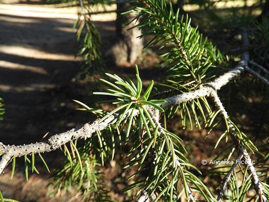 Picea schrenkiana  © Mag. Angelika Ficenc