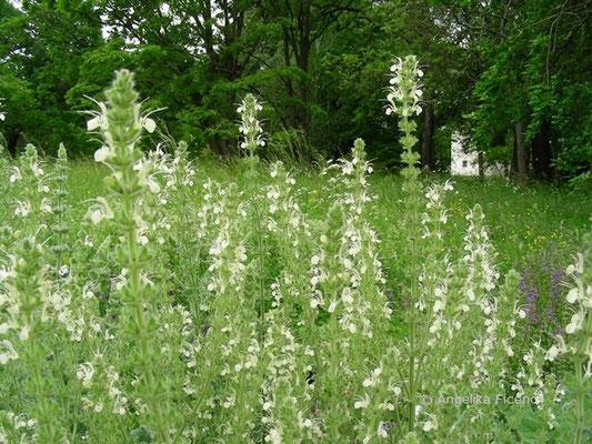 Salvia austriaca - Österreichischer Salbei